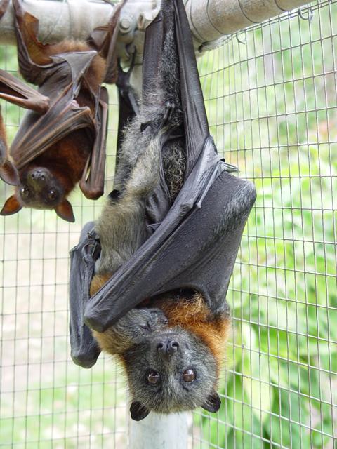 La volpe volante dalla testa grigia, pipistrello australiano (via Wikipedia)