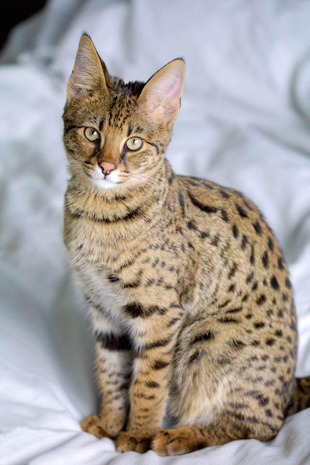 Estremamente Ipoallergenico o semi-selvatico, ecco i 5 gatti che costano di più IB14