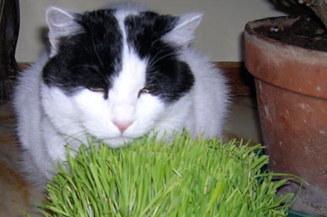 Gatti drogati grazie all 39 erba gatta uno studio spiega perch for Erba per gatti