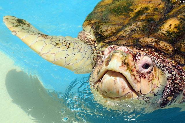 Tartaruga marina comune