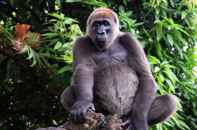 Gorilla del Cross River
