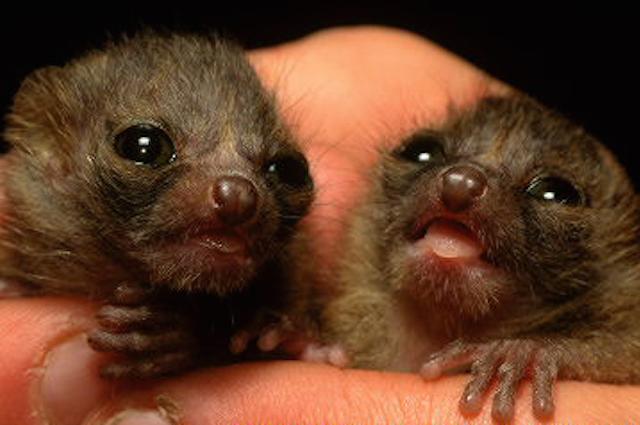 Piccoli di Microcebus (lemure del Madagascar)
