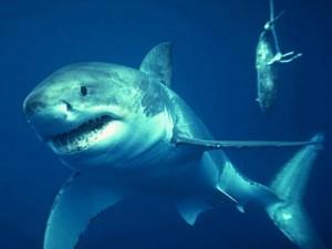 squalo pinna bianca del reef attacca turisti a sharm el sheikh