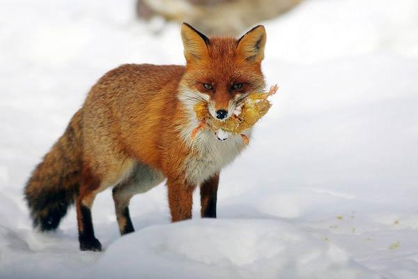 Caccia alla volpe nella tana animalisti in rivolta a siena - Immagini di volpe spugna a colori ...