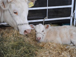 Francia, entra nella notte in una fattoria e abusa di una vitellina: arrestato