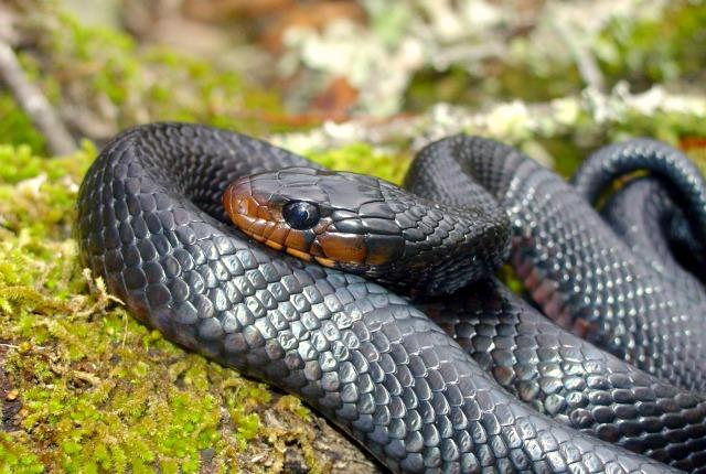 Isola di guam infestata dai serpenti topi imbottiti di for Veleno per serpenti