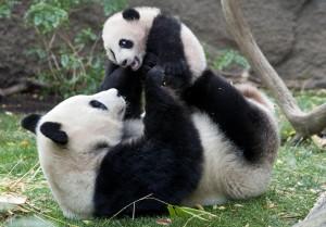 Panda con un cucciolo di 4 mesi e mezzo