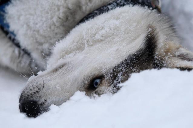 In Siberia venne rinvenuto negli anni '70 il fossile di un cane vissuto 33000 anni fa: la sua esistenza proverebbe che il processo di domesticazione in quel tempo era già iniziato.