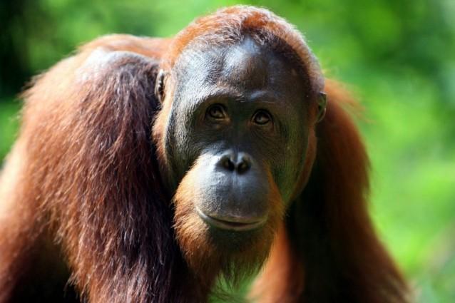 L'osservazione degli oranghi indonesiani e lo studio dei comportamenti adottati da questi per sopravvivere alla fame apre a nuove prospettive sulla cura dell'obesità e potrebbe far rivalutare alcune teorie su cui si basano le diete odierne.