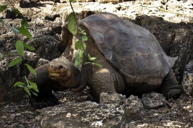 Censita dal naturalista britannico Charles Darwin durante lo storico viaggio che lo portò a toccare le coste delle isole Galapagos nel 1835 e ritenuta estinta poco tempo dopo, questa specie potrebbe invece esistere ancora, la prova nel corredo genetico delle sue discendenti ibride.