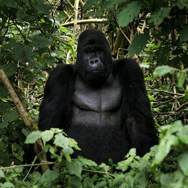 Per la prima volta, attraverso il sequenziamento del genoma, gli scienziati possono confrontarsi con la mappa completa del DNA dei gorilla scoprendo, così, che tra umani e gorilla la distanza è ancora più breve di quanto si credeva ed incamminandosi sul sentiero che porta alla comprensione della nostra storia evolutiva.