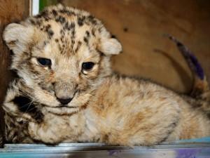 In italiano li chiameremmo ligri in inglese si chiamano tigon, sono i piccoli nati dall'incrocio di una tigre con un leone. Questi meravigliosi cuccioli sono una vera rarità in natura.