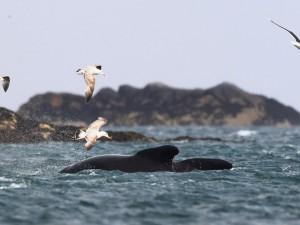 Sparare ai gabbiani per salvare le balene, la proposta dall'Argentina.