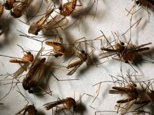 Una diffusione massiccia del virus del Nilo occidentale sta spaventando il sud degli Stati Uniti che hanno dichiarato lo stato di allerta