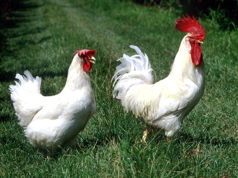 Stop al mangime, rischiano la morte 2 milioni di galline