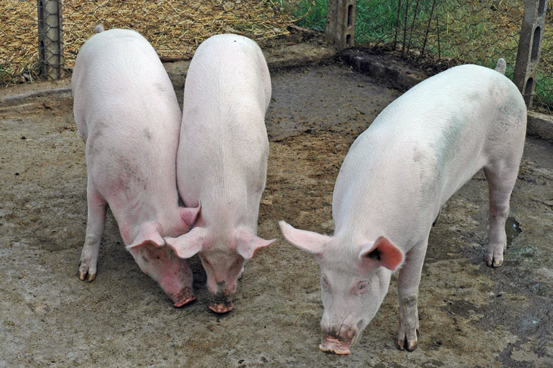Contadino divorato dai maiali della sua fattoria for Piani di lavoro della fattoria