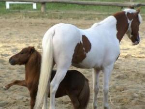 Città di Castello, rubato il pony più piccolo del mondo