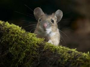 Compra un tavolo su Amazon: riceve un pacco con tre topi vivi e quattro morti