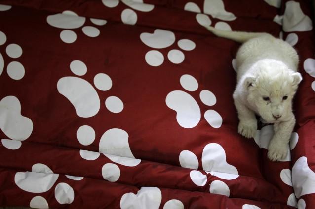 Decreto Legislativo del 4 marzo 2014 n. 26 e la tutela degli animali da laboratorio