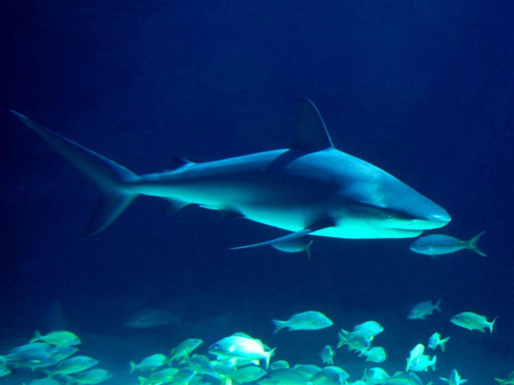 Squalo catturato dalle autorit a sharm el sheik for Disegni di squali per bambini