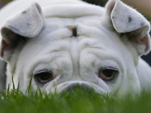 Tristezza di un bulldog