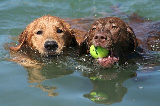 Cani che nuotano e giocano (foto di Scott Beckner)