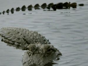 Prende in giro i coccodrilli e poi salta nell'acqua: massacrato dalle creature