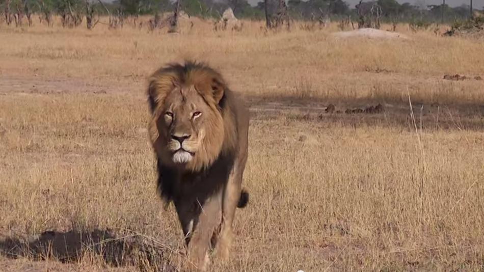Cecil, il leone simbolo dello Zimbabwe ucciso da un dentista Usa per 55mila dollari
