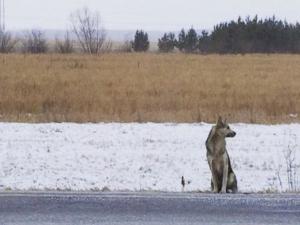 La storia dell'Hachiko siberiano: il cane che da oltre un anno attende il padrone morto