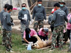 Thailandia, 40 cuccioli trovati morti nei freezer del Tempio delle Tigri