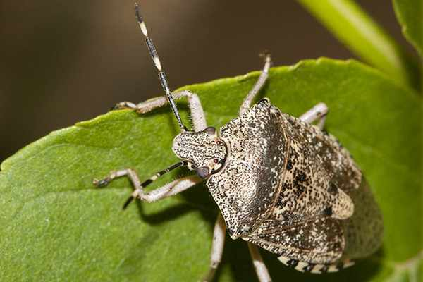 Invasione di cimici asiatiche nel nord est distrutti for Cimice insetto