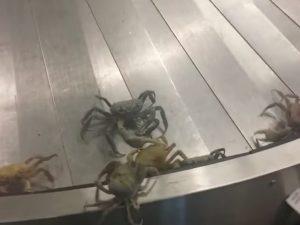 Bahamas, granchi sfuggono da una valigia e invadono l'aeroporto