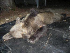 """Trentino, l'orsa KJ2 è stata uccisa: """"Esemplare pericoloso"""""""