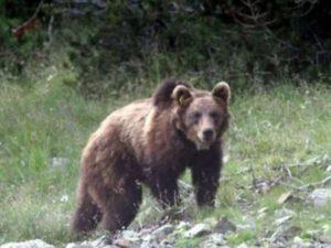 Abruzzo: giovane orso ucciso durante la cattura da un'iniezi