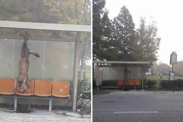 Orrore alla fermata dell'autobus: trovato lupo appeso alla pensilina
