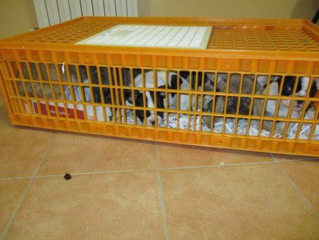 Sequestrati 65 cuccioli in autostrada. Sono tutti in precarie condizioni