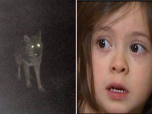 """USA, coyote attacca bimba di 3 anni: """"Aveva fame, voleva mangiarla"""""""