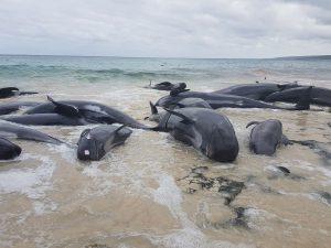 Australia, 150 cetacei arenati su una spiaggia: è pericolo s