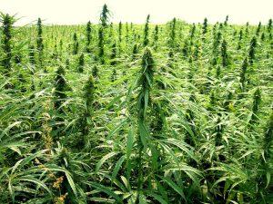 Cannabis light, il governo dice sì a produzione e commercio.