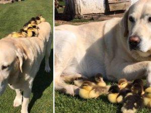 Fred, il labrador che ha adottato 9 anatroccoli abbandonati