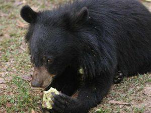 Compra un orso nero asiatico pensando fosse un cane (e scopre la verità ...