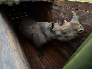 Kenya, otto rinoceronti neri in via di estinzione morti dura