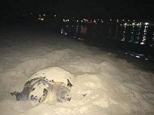 Bianca, la tartaruga marina schiacciata da un trattore: avev