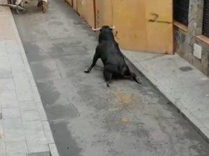 Toro con zampe spezzate agonizzante per strada: il video che indigna la Spagna