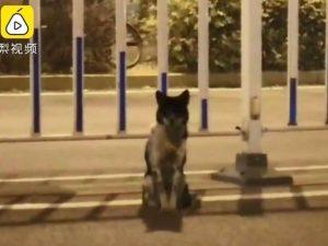Il cane fedele che da quasi 3 mesi aspetta nel luogo in cui è morta la sua padrona