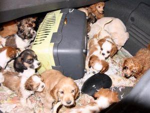 Udine, arrestati trafficanti di cuccioli di cane: ogni anima