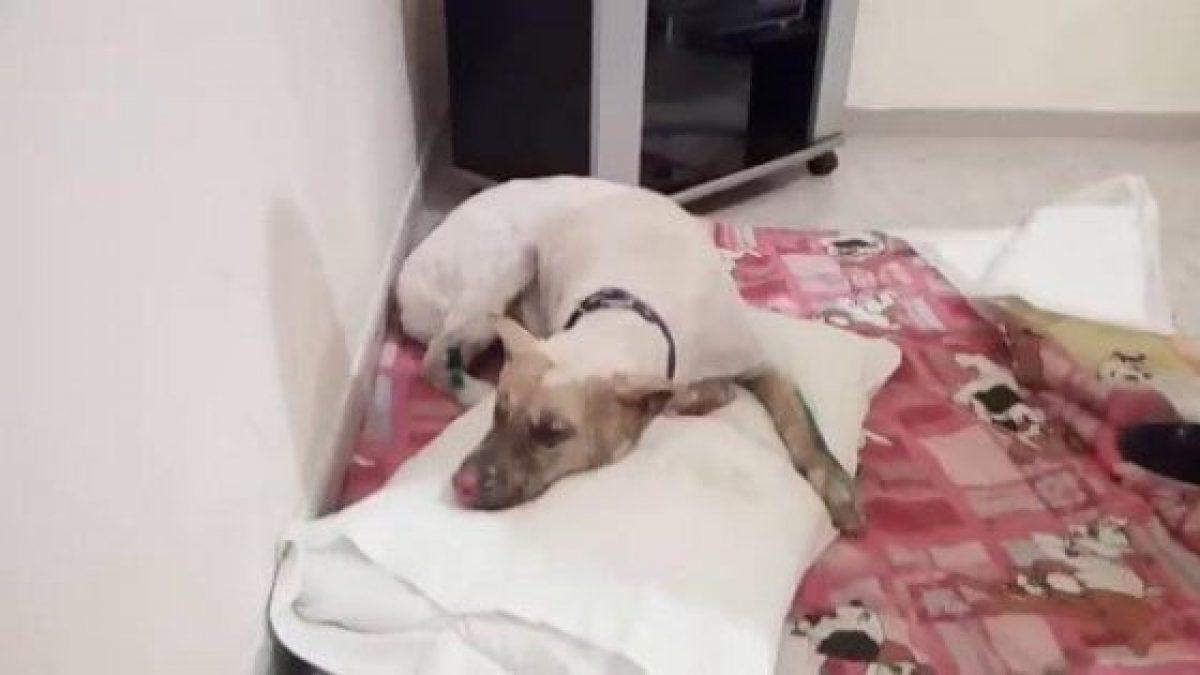Morto Jako Il Siberian Husky Bruciato Vivo Perché Abbaiava Troppo