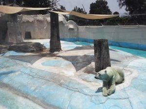 Morto Yupik, l'orso polare costretto a vivere per 20 anni al