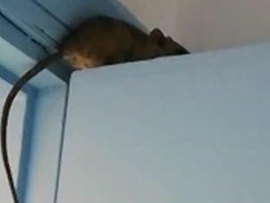 Topo in ospedale a Bisceglie, avvistato sulla porta del repa