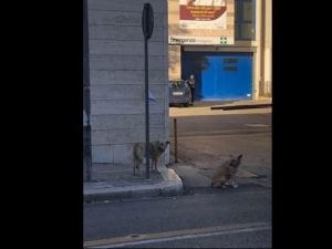 Andria: la padrona è ricoverata, i suoi due cani la attendon